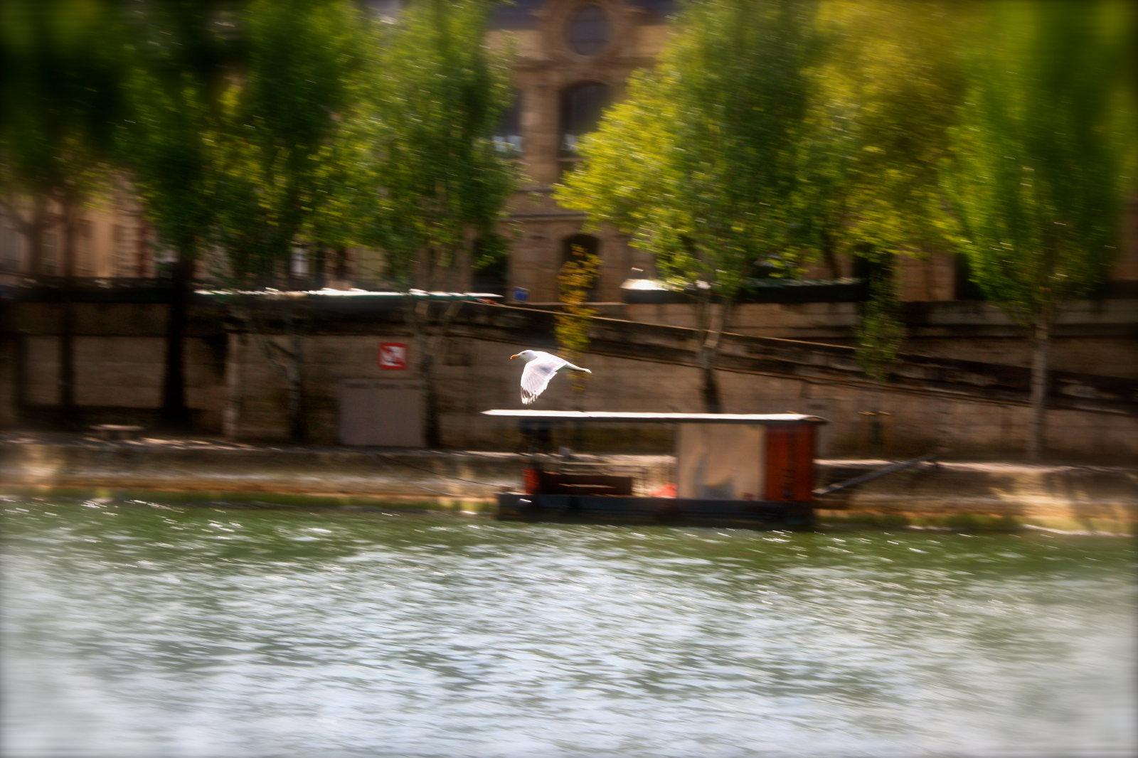 Gaviota sobre el río Sena, París